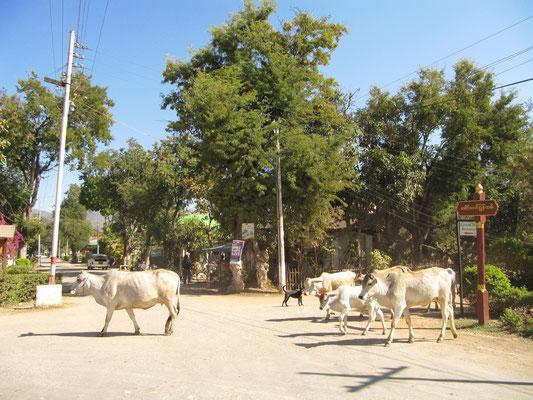 Straßenkühe.