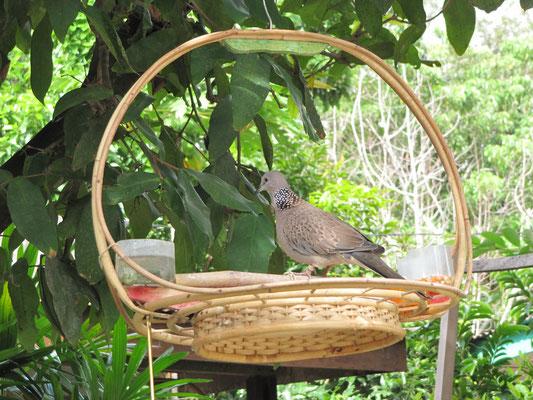 Vogelhaltung ohne Käfig, dafür mit Fußfessel.