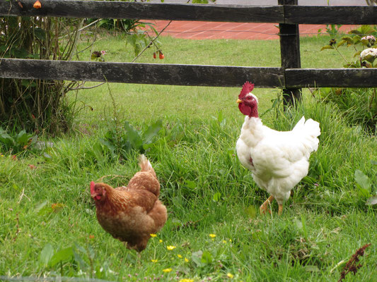 Wirklich glückliche Hühner im Garten.