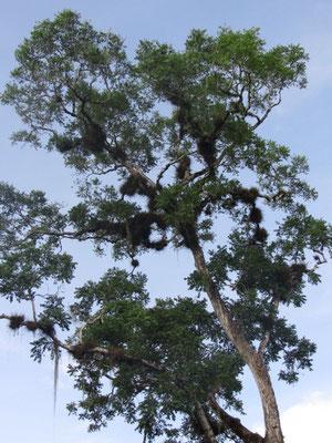 Ein Ceiba-Baum.