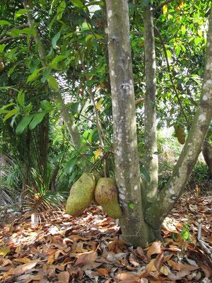Fruchtbaum im elterlichen Garten unseres Freundes.