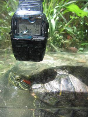 Unsere Gästehausschildkröten beim Philosophieren über die Zeit.