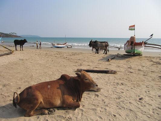 Indische Strandkühe.