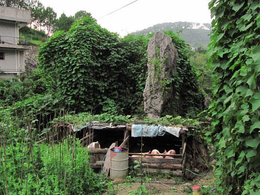 Schweinezucht in den Bergen.