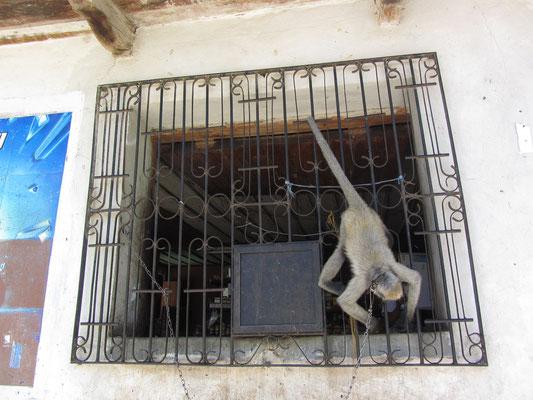 Hausaffe eines Kioskbesitzers.