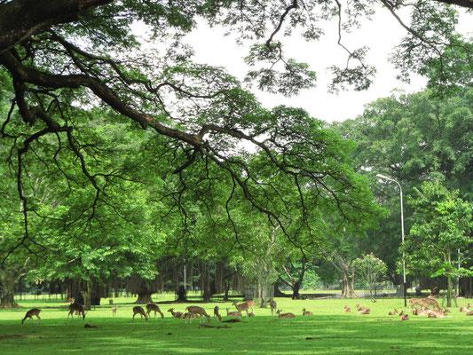 Rehe vor dem Istana Bogor (Sommerpalast).