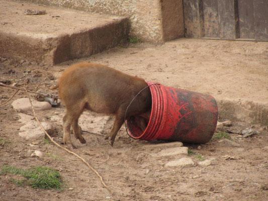 Ein Schwein versteckt sich.