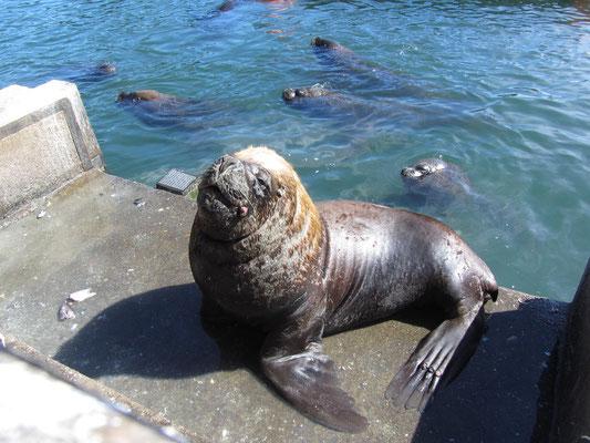 Direkt neben den Ständen der Fischhändler aalen sich Seehunde auf den Betonpollern in der Sonne, wohl wissend dass ab und zu ein Stückchen für sie abfällt.