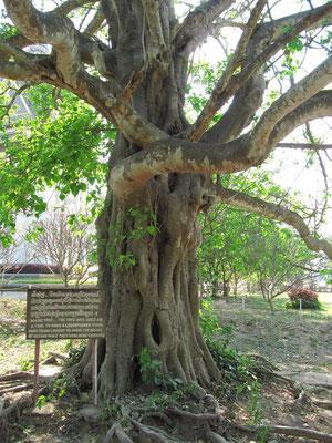 """""""Magic Tree"""". An diesem Baum hing ein Lautsprecher mit dem das Schreien der Opfer bei der Exekution übertönt werden konnte."""