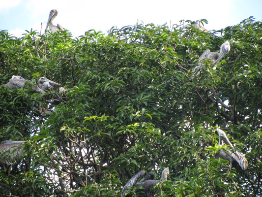 Flugtiergruppe 4 ist auch unter dem exotischen Namen Pelikan bekannt.
