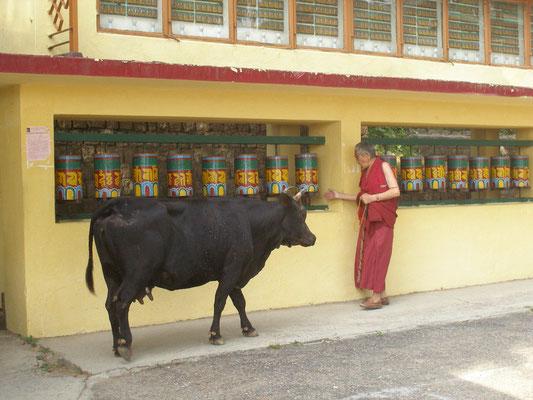 Gebetsmühlendreher trifft heilige Kuh.