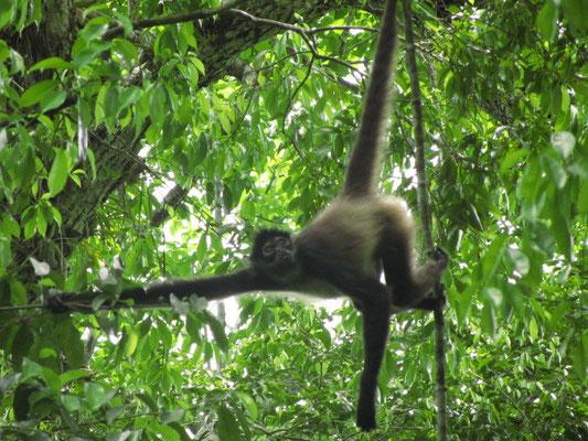 Tikal ist auch berühmt für seine Affen.