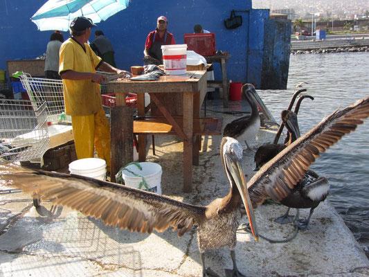 Die Pelikane hoffen auf die Fischinnereien, die vom Fischer ausgenommen und weggeschmissen werden.