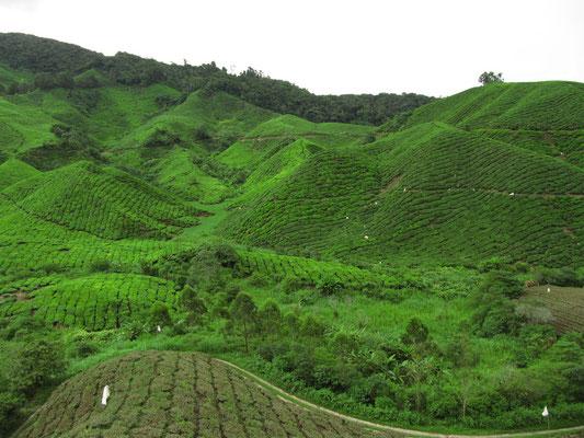 Weitere Teeplantagen.