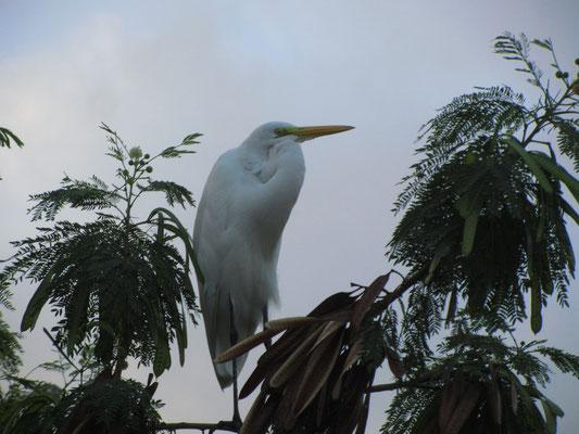 Ein Fregattvogel am Lagoa Rodrigo de Freitas.