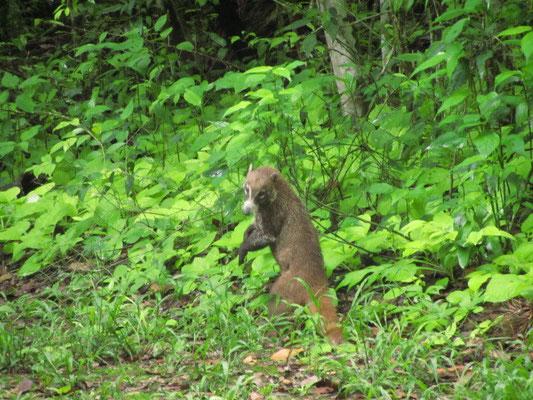 Ein weiteres sehr witziges Tierchen. Sein Name ist Nasenbär.