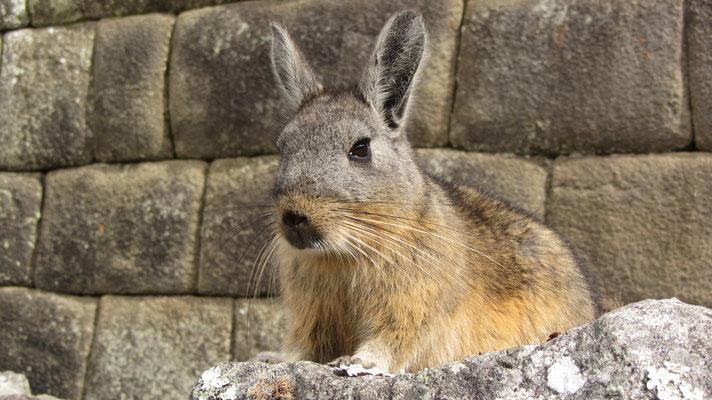 Die Hasenmäuse oder Bergviscachas (Lagidium) sind eine Nagetiergattung aus der Familie der Chinchillas (Chinchillidae).
