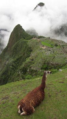 Kein schlechter Platz ein Lama zu sein.