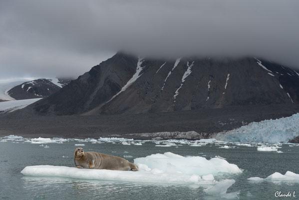 Baie du Roi, Phoque barbu, Spitzberg, Svalbard