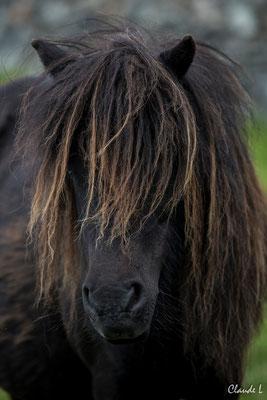 Poney des Shetland,Unst