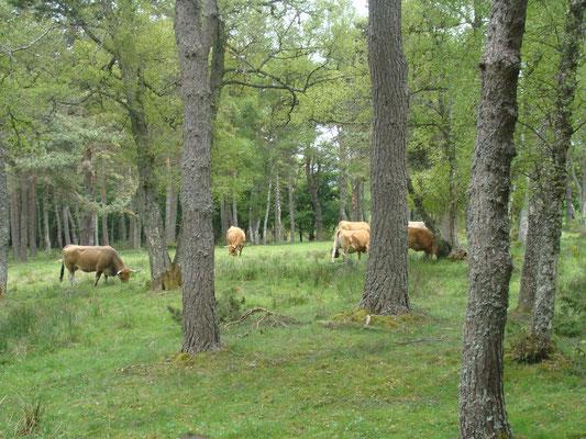 Les premiers troupeaux