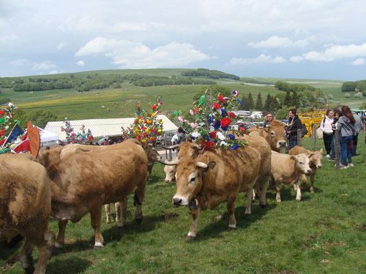 Regroupement des troupeaux au col de Bonnecombe