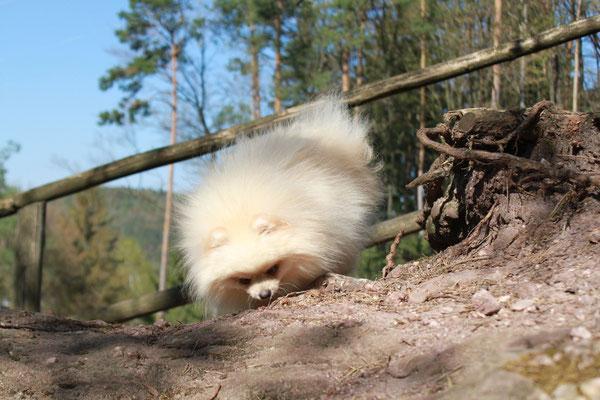 Pomeranian Rüde Phillip www.vonderarnoldseiche.de