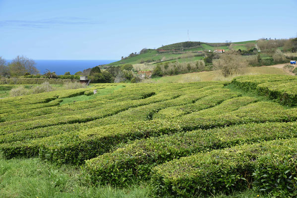 Hänge voller Teebüsche