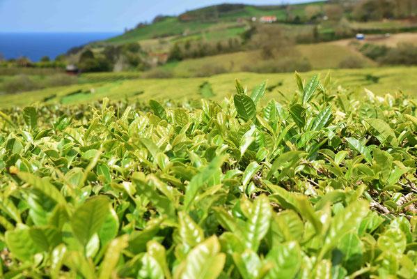 Teepflanzen vor dem Schnitt