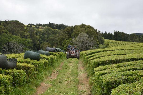 Jede Reihe ein großer Tuchsack mit Tee