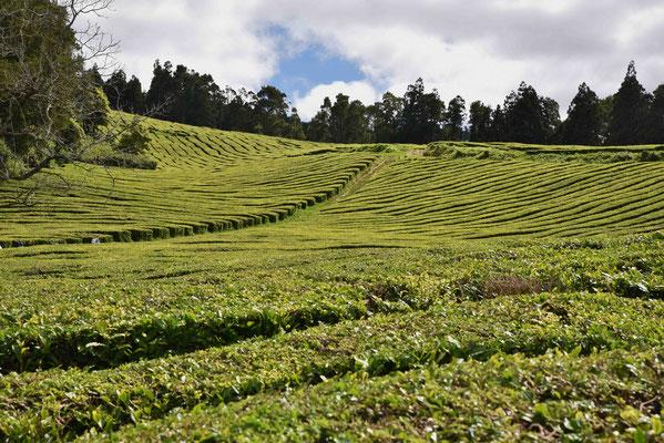 Lange Reihen Teebüsche