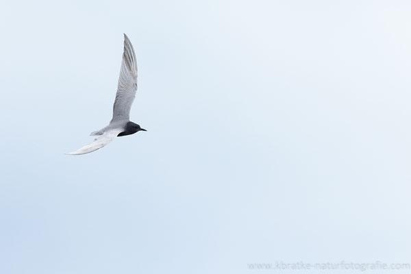 Trauerseeschwalbe PK (Chlidonias niger), Mai 2021 MV/GER, Bild 7