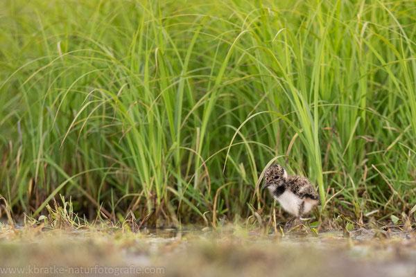 Kiebitz (Vanellus vanellus), Mai 2020 Nds/GER, Bild 9