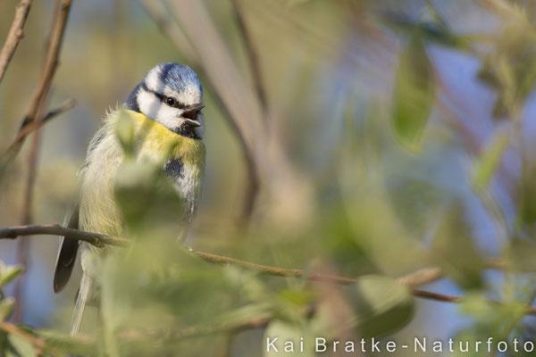 Blaumeise männl. (Parus caeruleus), Mai 2018 MV/GER, Bild 2