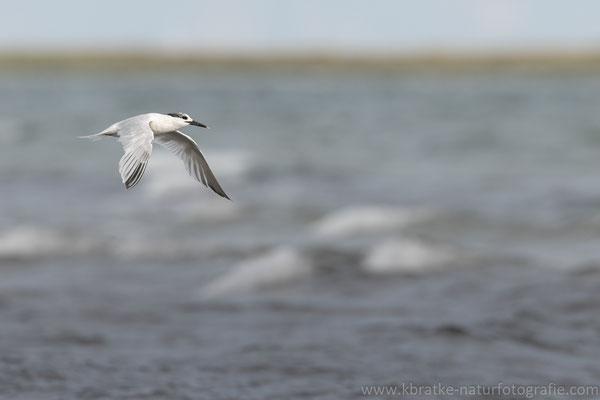 Brandseeschwalbe (Thalasseus sandvicensis), Aug 2021 MV/GER, Bild 9