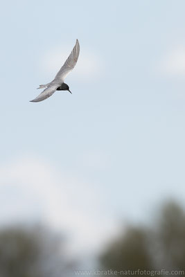 Trauerseeschwalbe PK (Chlidonias niger), Mai 2021 MV/GER, Bild 8