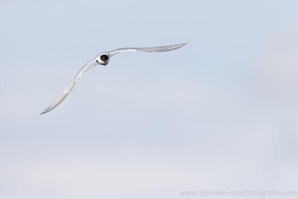 Flussseeschwalbe (Sterna hirundo), Mai 2021 MV/GER, Bild 4