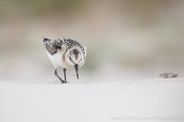 Sanderling (Calidris alba), Sept 2020 MV/GER, Bild 78