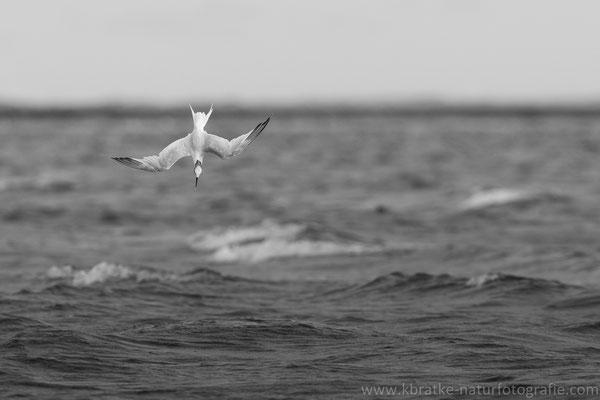 Brandseeschwalbe (Thalasseus sandvicensis), Aug 2021 MV/GER, Bild 7