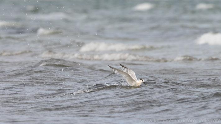 Brandseeschwalbe (Thalasseus sandvicensis), Aug 2021 MV/GER, Bild 5