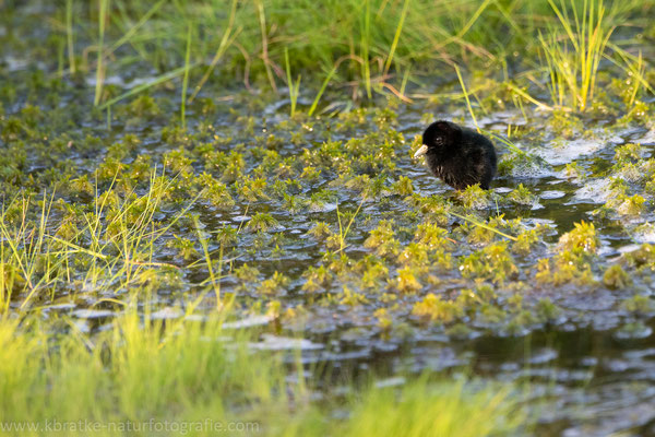 Wasserralle (Rallus aquaticus), Juni 2019 Nds/GER, Bild 8