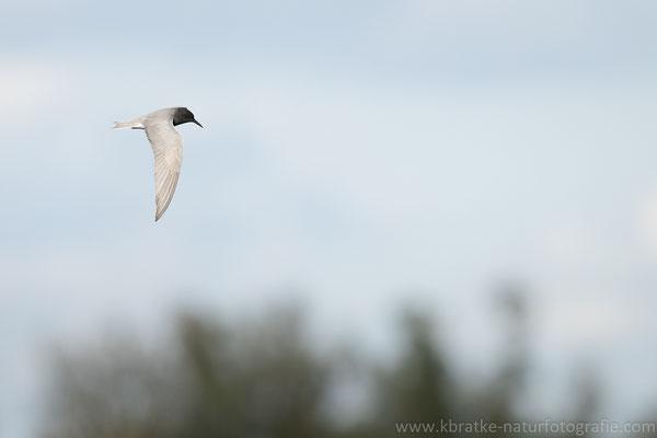 Trauerseeschwalbe PK (Chlidonias niger), Mai 2021 MV/GER, Bild 9
