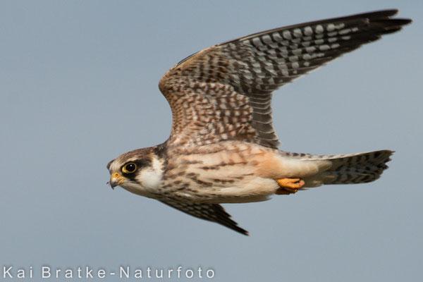 Rotfußfalke K1 (Falco vespertinus), Aug 2015 MV/GER, Bild 1