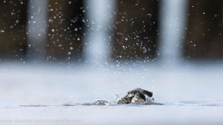 Sanderling (Calidris alba), Sept 2019 MV/GER, Bild 57
