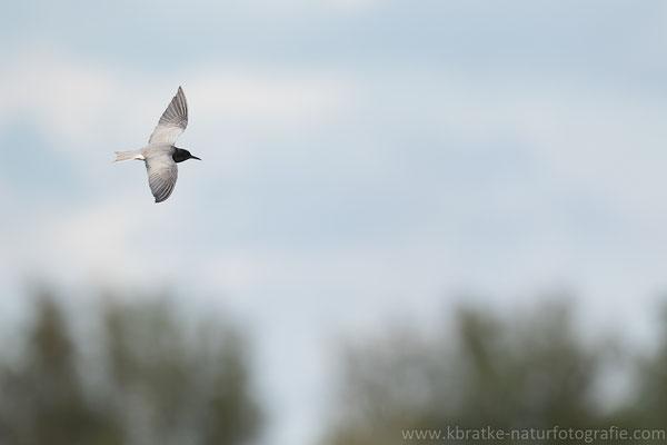 Trauerseeschwalbe PK (Chlidonias niger), Mai 2021 MV/GER, Bild 10
