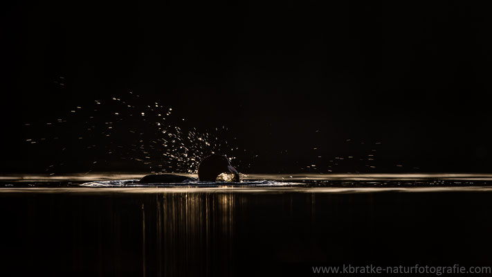 Blässhuhn (Fulica atra), März 2021 MV/GER, Bild 18