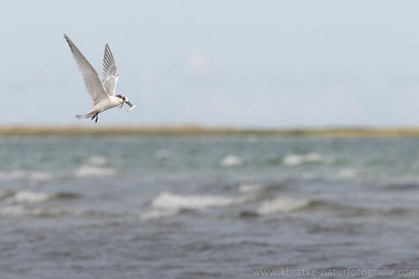Brandseeschwalbe (Thalasseus sandvicensis), Aug 2021 MV/GER, Bild 10