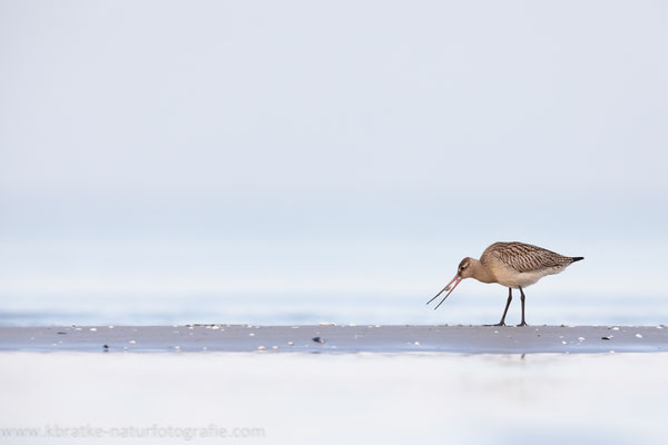 Pfuhlschnepfen (Limosa lapponica), Sept 2020 MV/GER, Bild 33