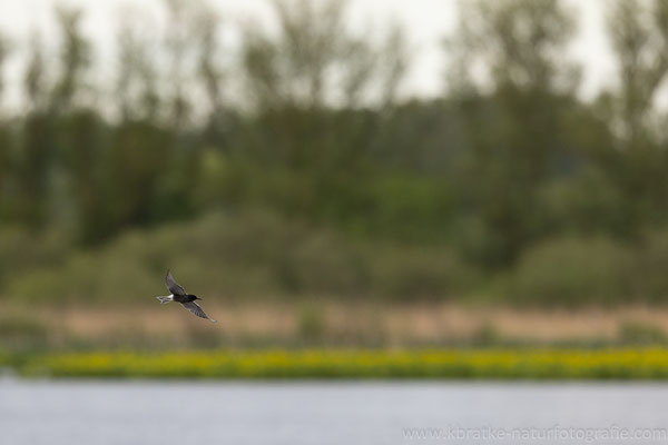 Trauerseeschwalbe PK (Chlidonias niger), Mai 2021 MV/GER, Bild 6
