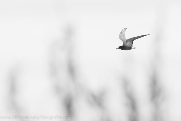 Trauerseeschwalbe PK (Chlidonias niger), Mai 2021 MV/GER, Bild 3